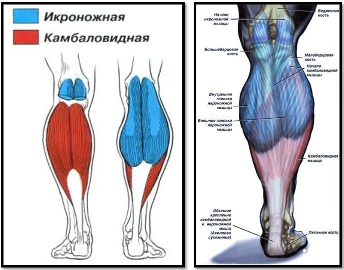 Икроножный мускул